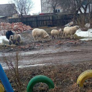 Бараны на городских дорогах: овцы в Смоленске почувствовали себя в привычных условиях