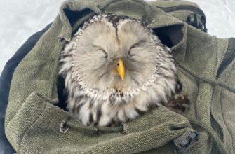 Две совы в поисках друг друга заблудились в Смоленске